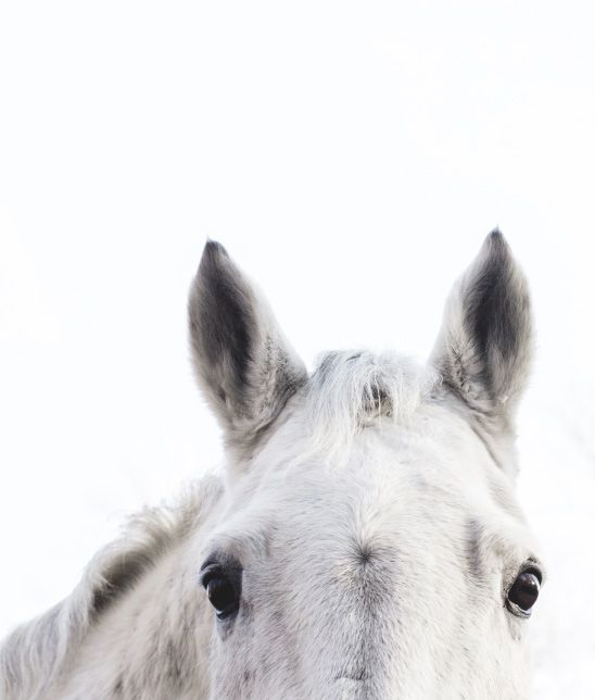 close of up of a white horse