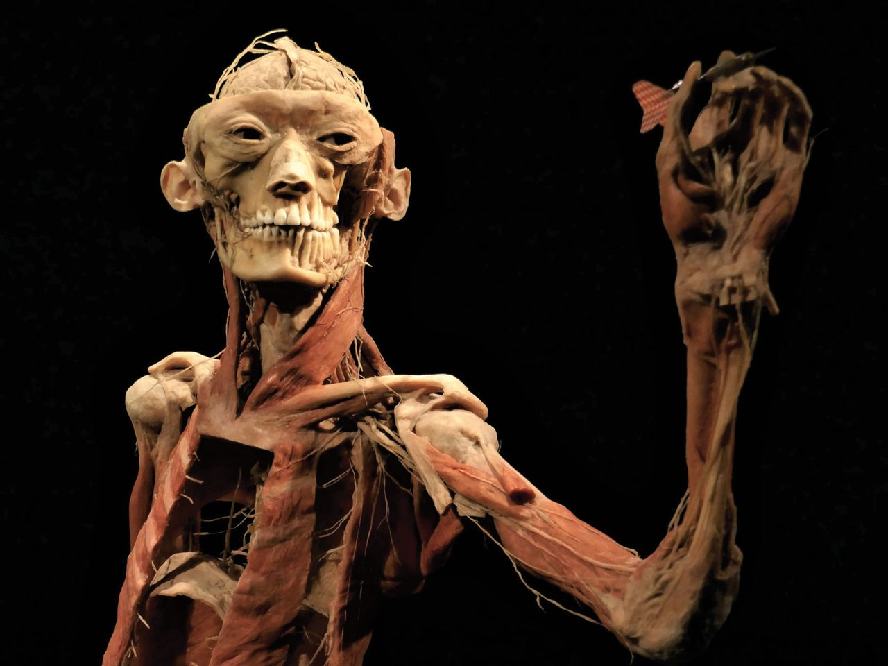 The bodies in the exhibition have been stripped of their skin and dissected to reveal their internal anatomy © jacquemart