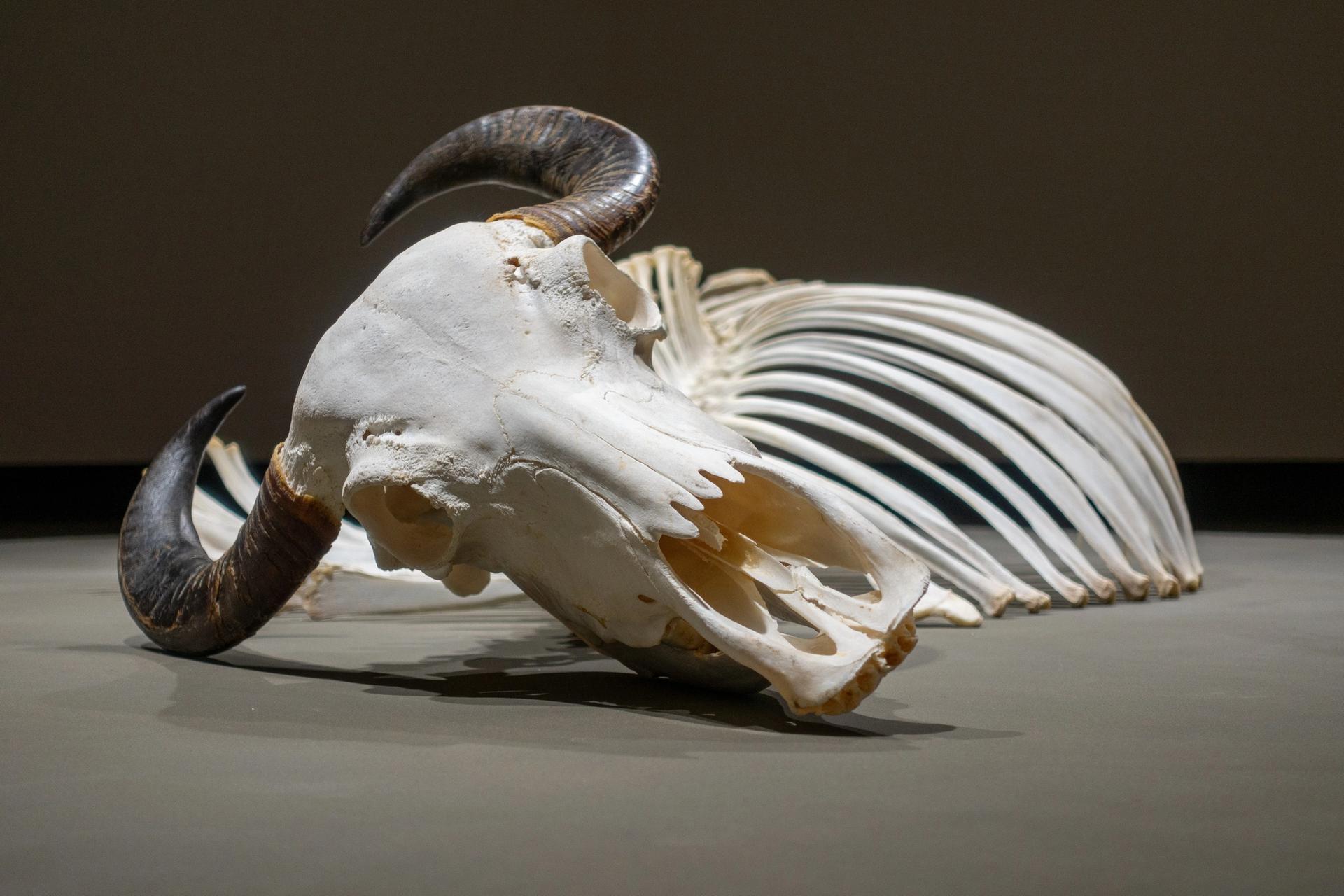 Ozan Atalan's installation Monochrome (2019) features a buffalo skeleton Courtesy the artist. Photo: Sahir Ugur Eren