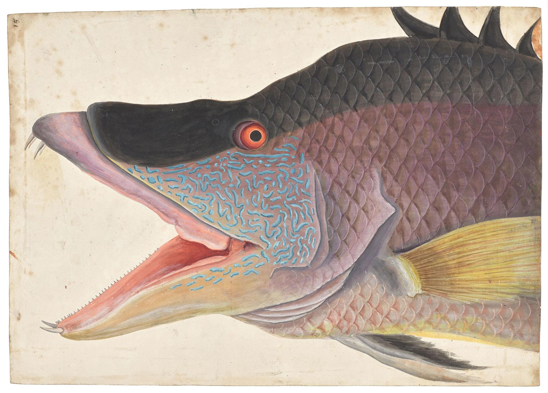 """Mark Catesby's The Great Hog-Fish (1725-26) shows the English naturalist's """"lifelike colouring"""" and close observation of his North American specimens Royal Collection Trust © Her Majesty Queen Elizabeth II 2021"""
