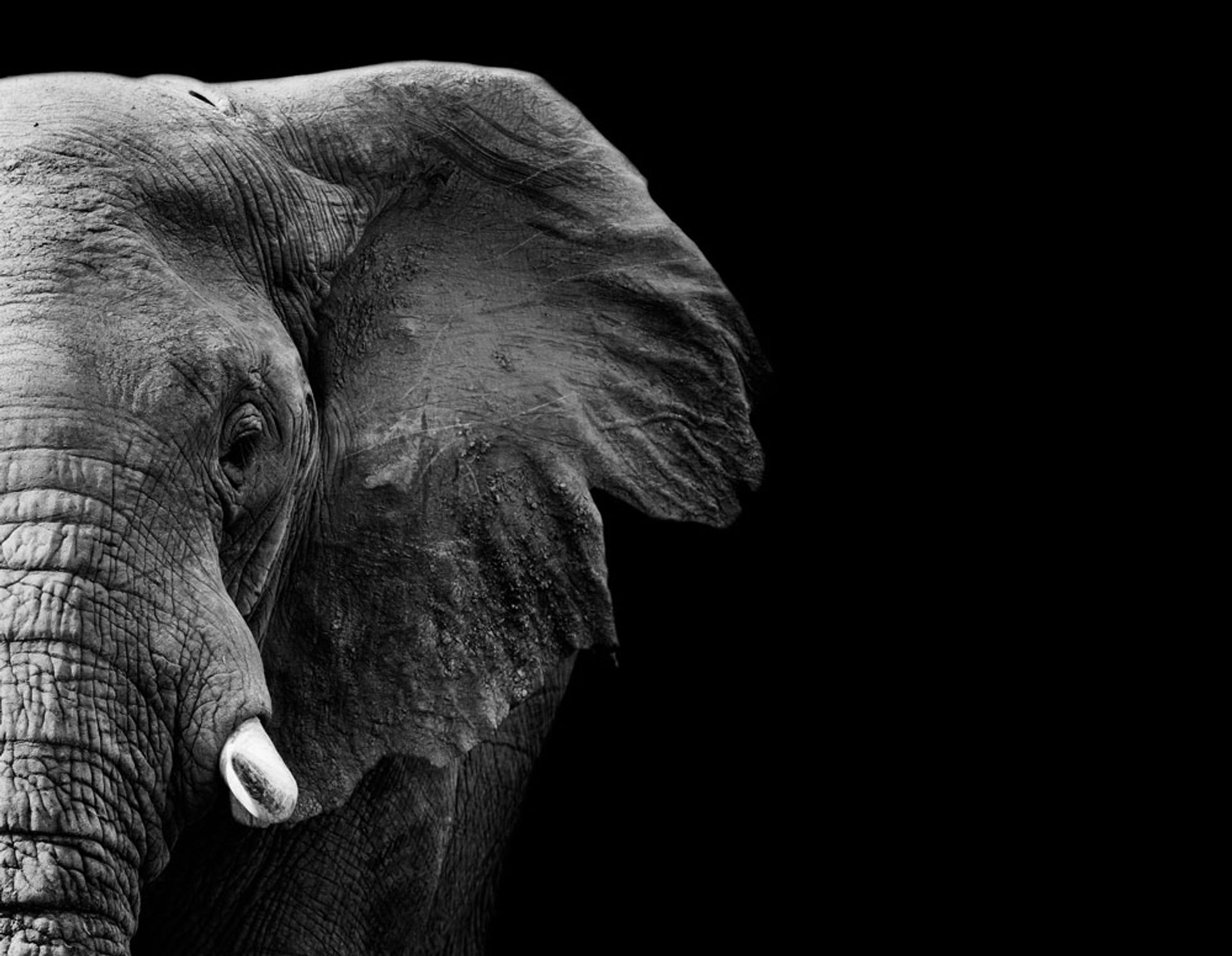 The elephant population has declined by almost one-third in under a decade Donovan van staden, shutterstock
