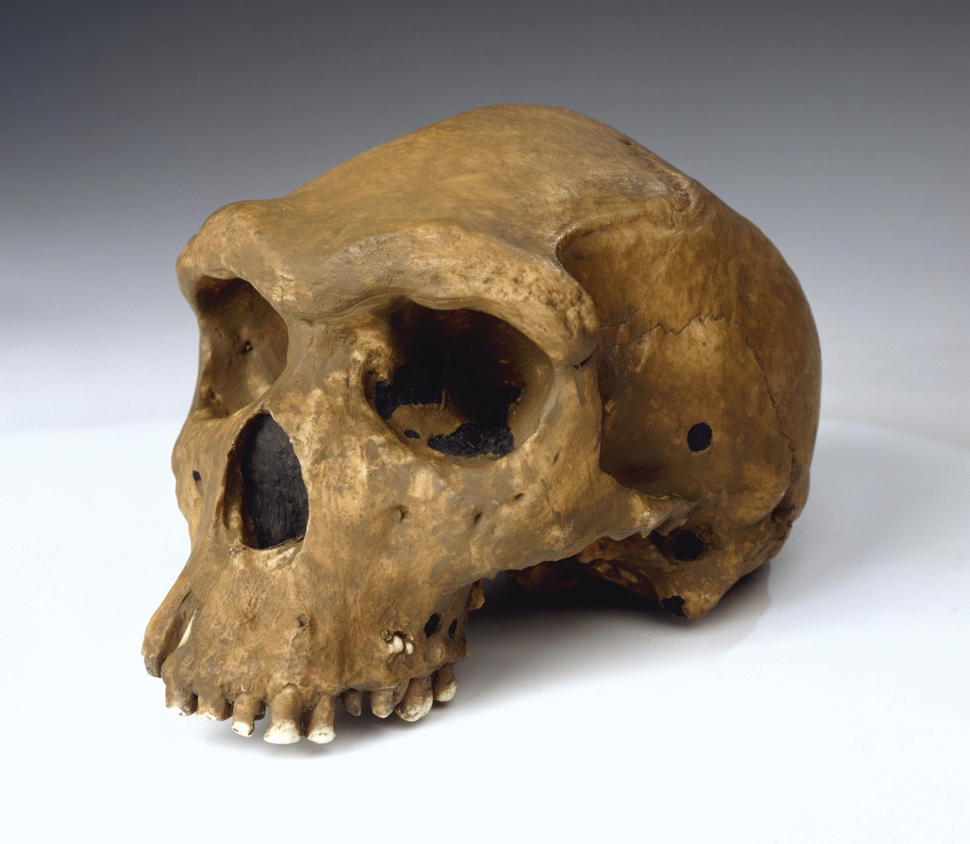 The 250,000-year-old Rhodesian Man skull was found deep in a mine in what is now Zambia in 1921 Courtesy of The Trustees of the Natural History Museum