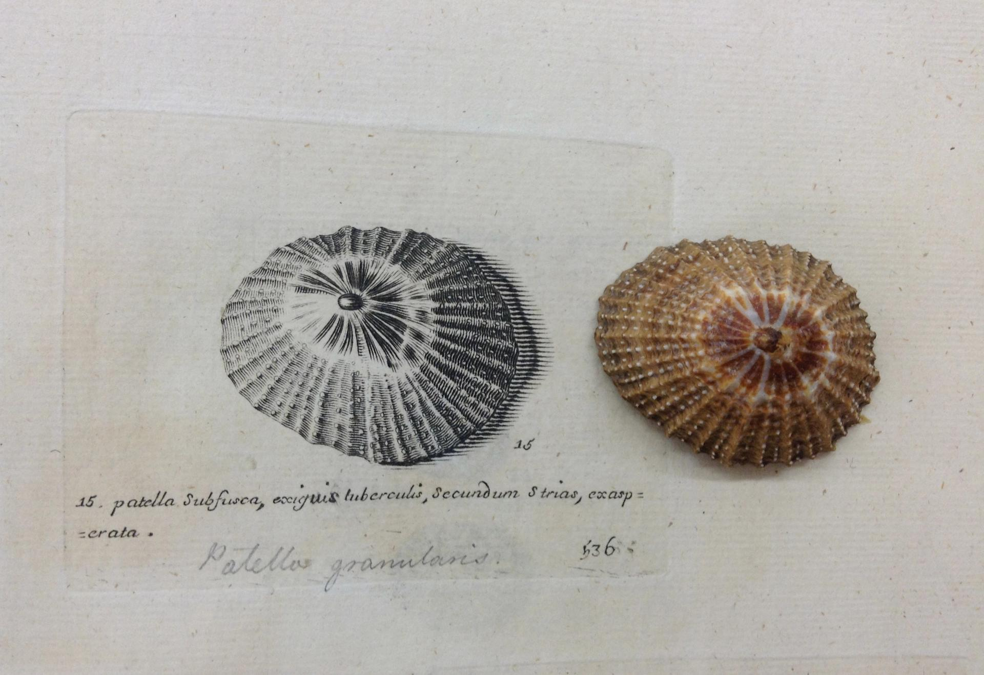 A Lister engraving (on the left) adjacent to a contemporary photograph of the limpetPatella granularis, a species of sea snail Courtesy of Bodleian Library