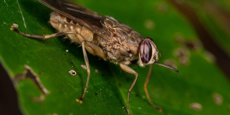 TseTse-Fliege auf Blatt Schlafkrankheit