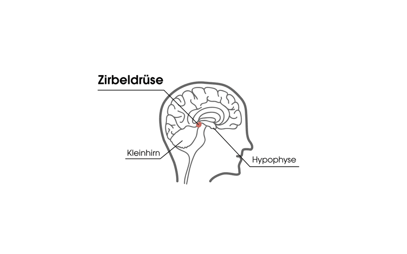 Zirbeldrüse im Hirn Melatonin