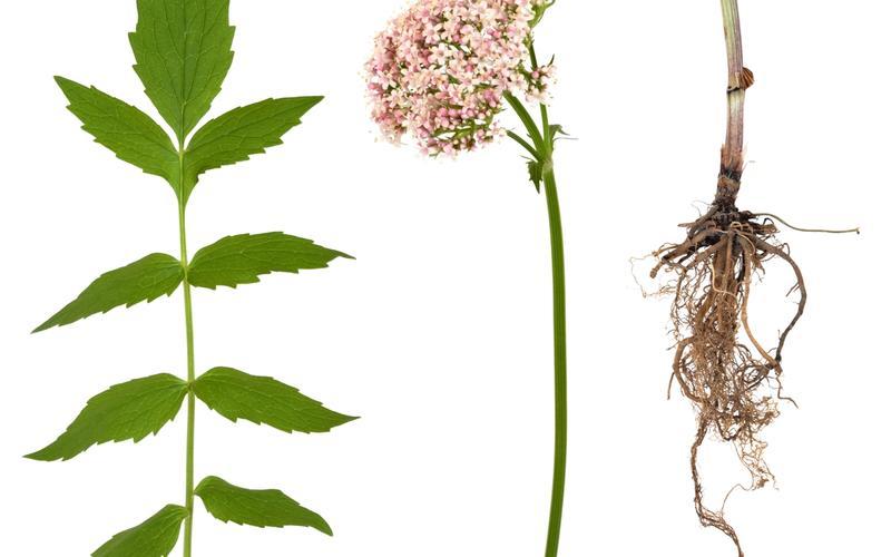 Baldrianpflanze, -blüte und -wurzel