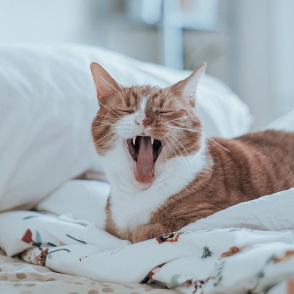 Adenosin Katze auf Bett müde