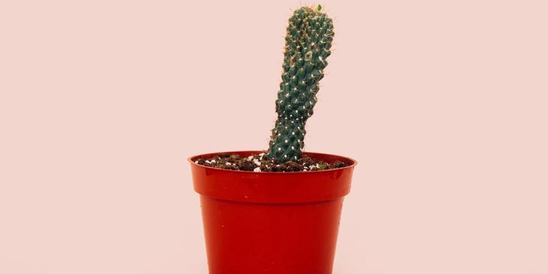 nächtliche Erektion; Kaktuspflanze