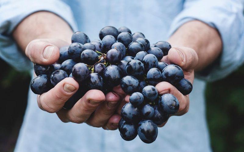 Rotwein Rote Weintrauben