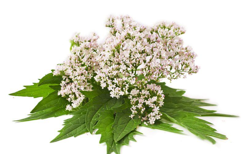 Baldrian Pflanze Pflanzliche Schlafmittel