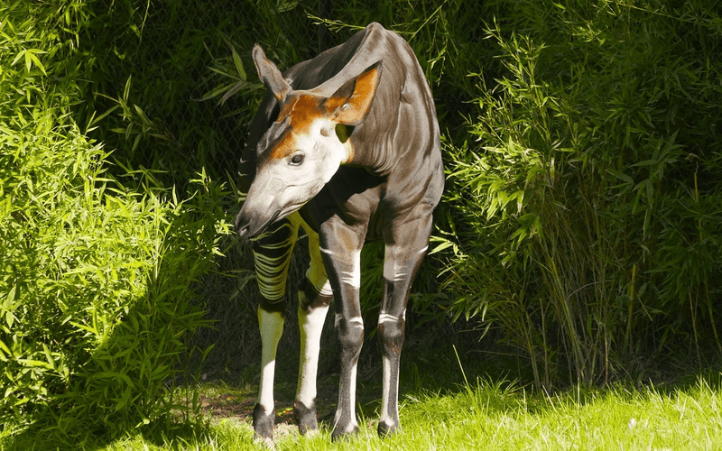 Schlaf Rekorde Waldgiraffe Okapi