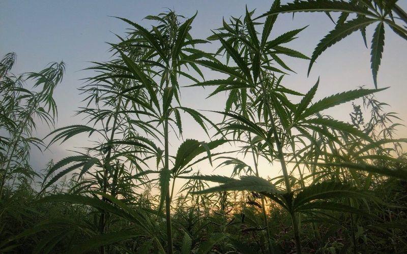 CBD-Öl durch Cannabis-Anbau