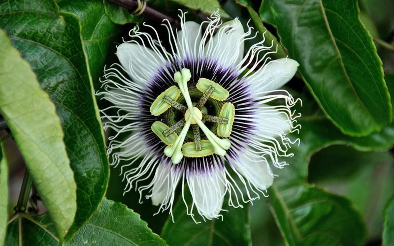 Die Passionsblume pflanzliche Schlafmittel