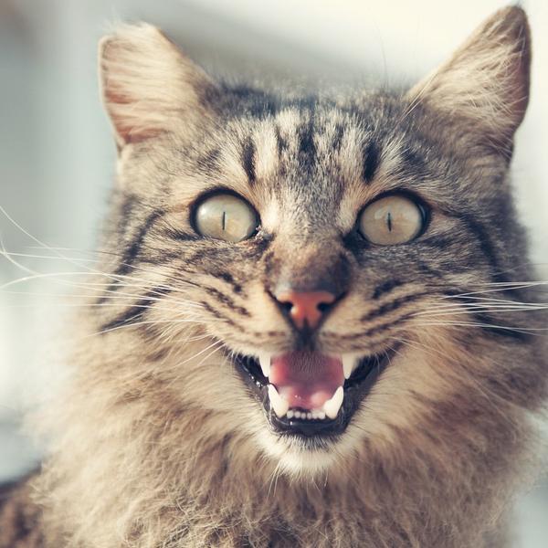 Verrückte Katze Überdosierung Melatonin