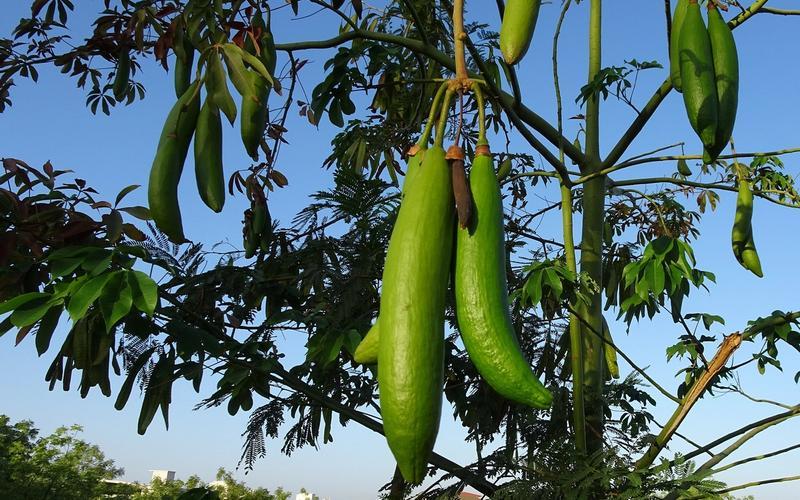 Kapokfrucht am Baum