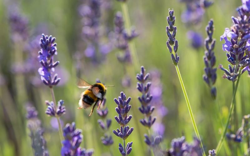 Lavendel und Hummel