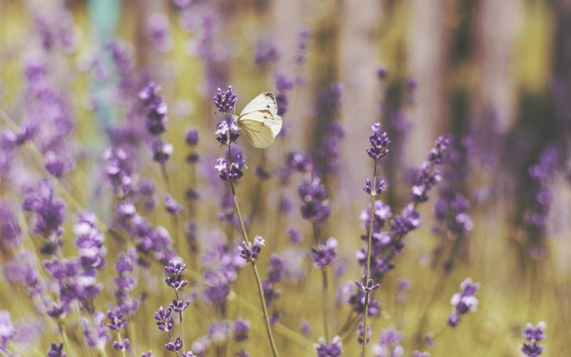 Lavendel, Schlafzimmerpflanze.