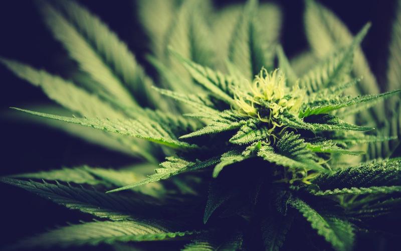Cannabis Schlaf Pflanze