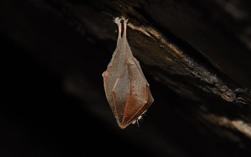 Fledermaus in Höhle