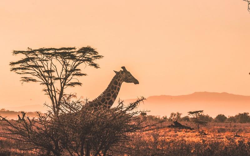 Savanne mit Giraffe Schlafkrankheit