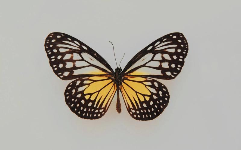 Chuang Tzu; Schmetterlingstraum: Schmetterling.