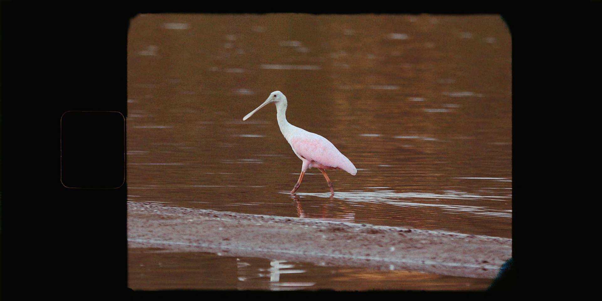 Pink spoonbill lagoon