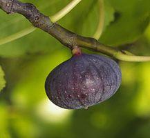 Ficus carica 'Bourjasotte noire'