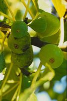 Ficus carica 'Sucrette'