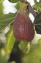 Ficus carica 'Dorée'