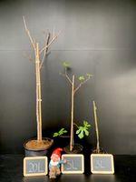 Ficus carica 'Ronde de Bordeaux'