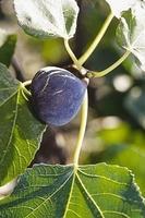 Ficus carica 'Sultane'