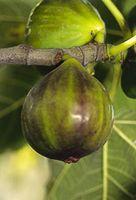 Ficus carica 'Dauphine'