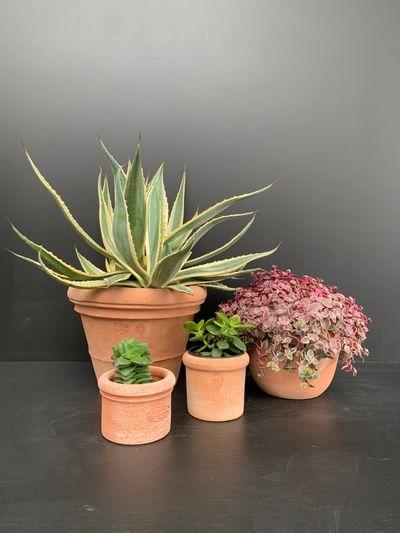 Cactus en succulenten