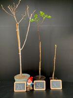 Ficus carica 'Madeleine des deux Saisons'
