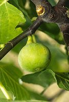 Ficus carica 'Sucre vert'