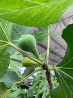 Ficus carica 'Marabout'