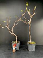 Ficus carica 'Figue de Marseille'