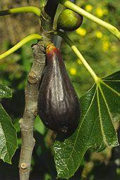 Ficus carica 'Abicou'