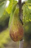 Ficus carica 'Longue d'août'