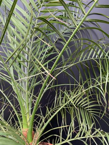 Phoenix roebelinii