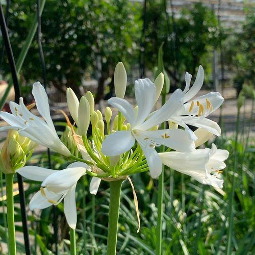 Agapanthus africanus 'Medium White'