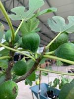 Ficus carica 'Conadria'