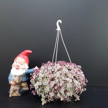 Crassula marginalis variegata