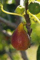 Ficus carica 'Brunswick'