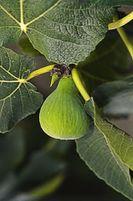 Ficus carica 'Col de Dame'