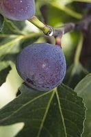 Ficus carica 'Pastilière'