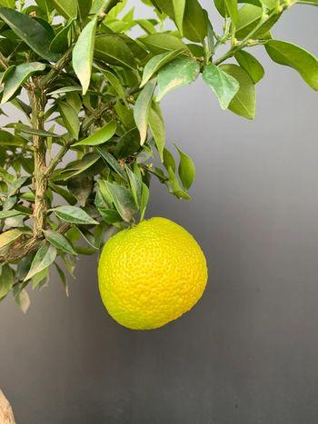 Citrus aurantium 'Myrtifolia'