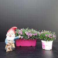 Dianthus caryophyllus 'Pink kisses'