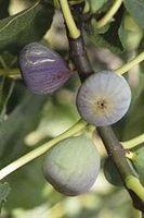 Ficus carica 'Grise de Saint Jean'