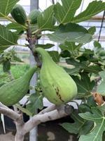 Ficus carica 'Dalmatie'